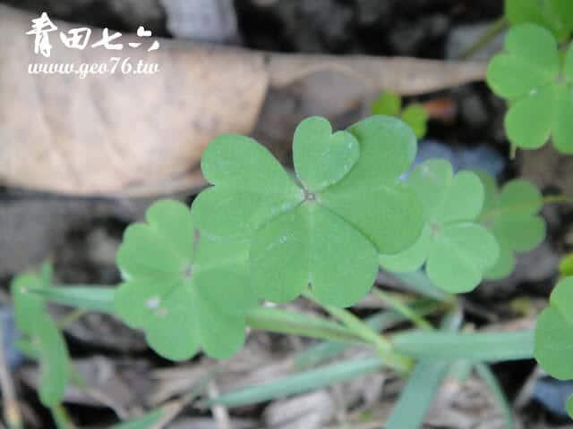青田七六-幸運草