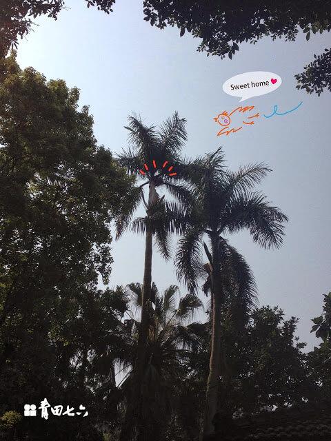 青田七六-椰子樹落葉及鳥巢