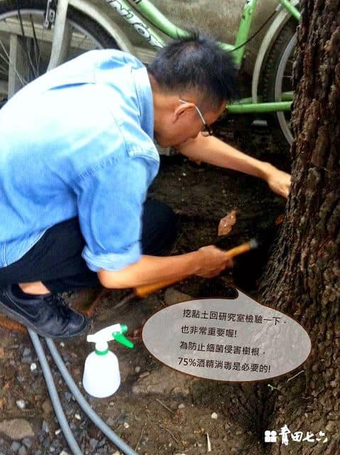 青田七六-樹木健診-楓香土質測量