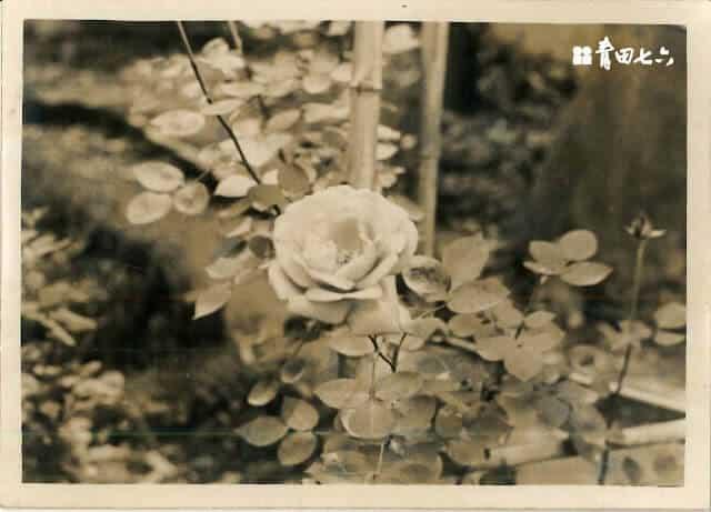 青田七六-馬廷英教授-玫瑰