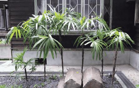 青田七六-前庭の観棕竹