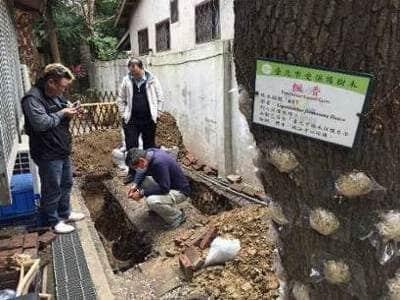 青田七六-維修紀錄-20170112(楓香生育地土壤改良及鋼架架設)