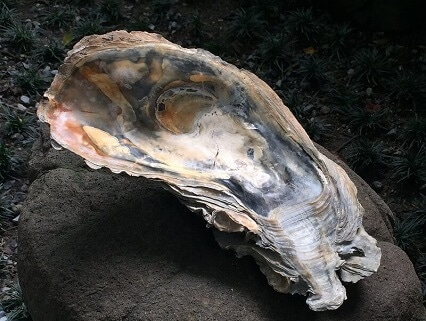 Big Oyster Fossil